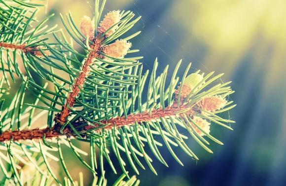 Tree of the Month – Radiata Pine