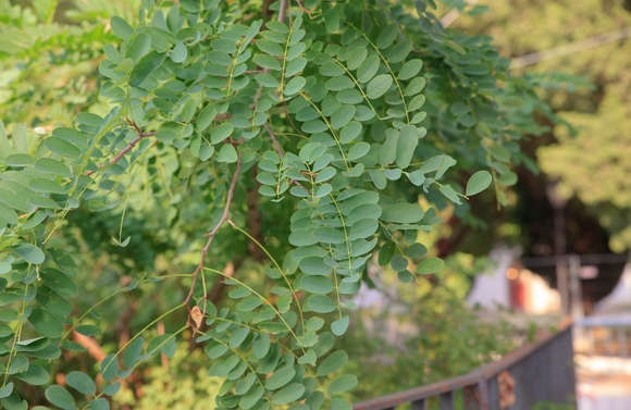 Tree of the Month – Robinia