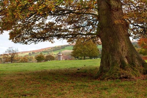 oak at bitterley court, bitterley, shropshire, england.