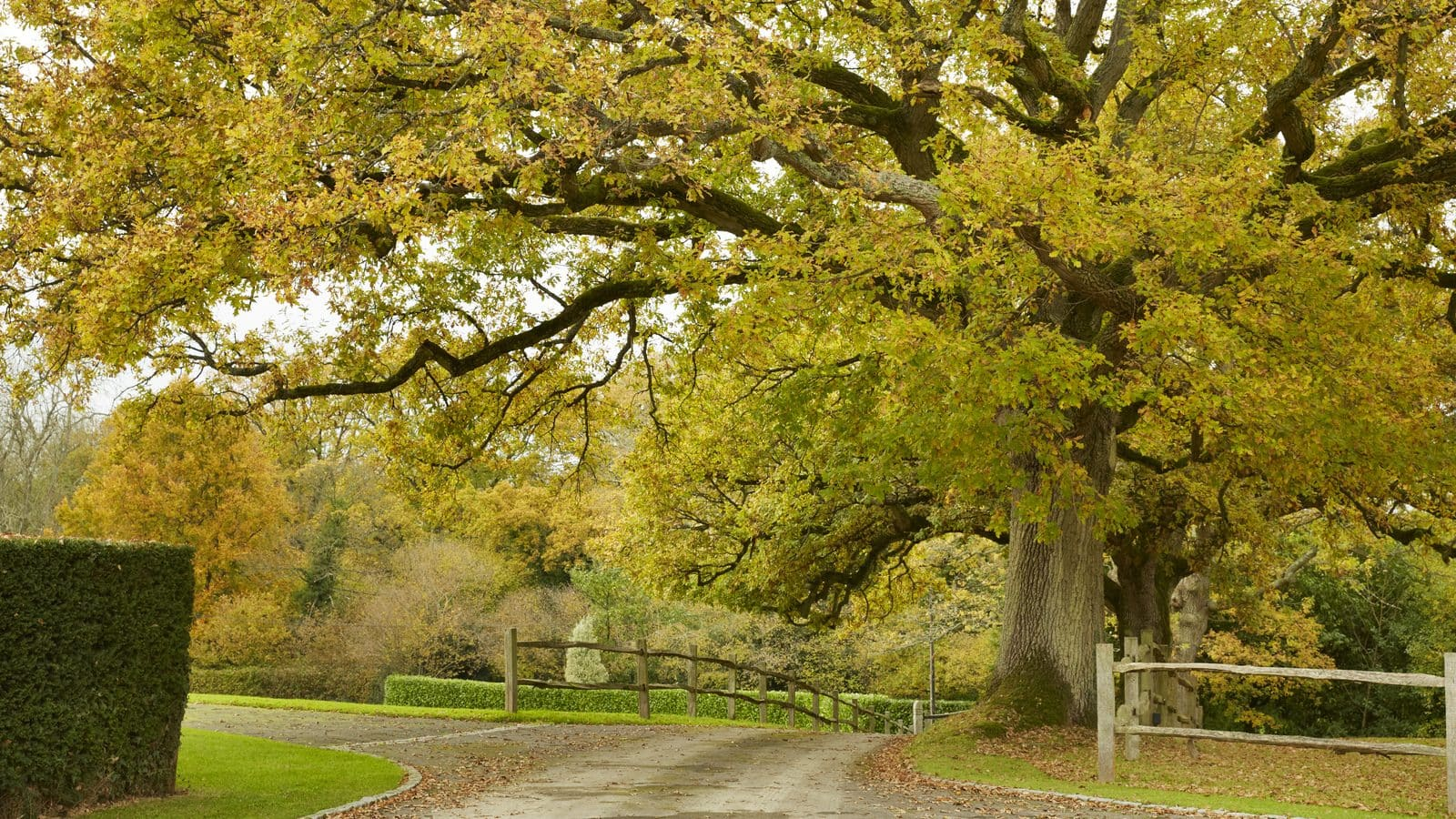 Tree of the month:  Oak