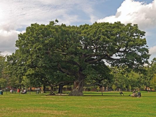 Tottenham Oak