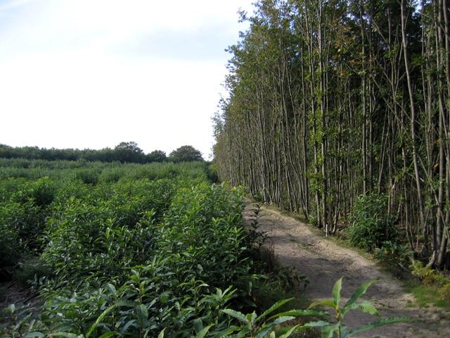Copyright Rodney Burton - sweet chestnut coppice_ Hurst Wood_ West Peckham_ Kent