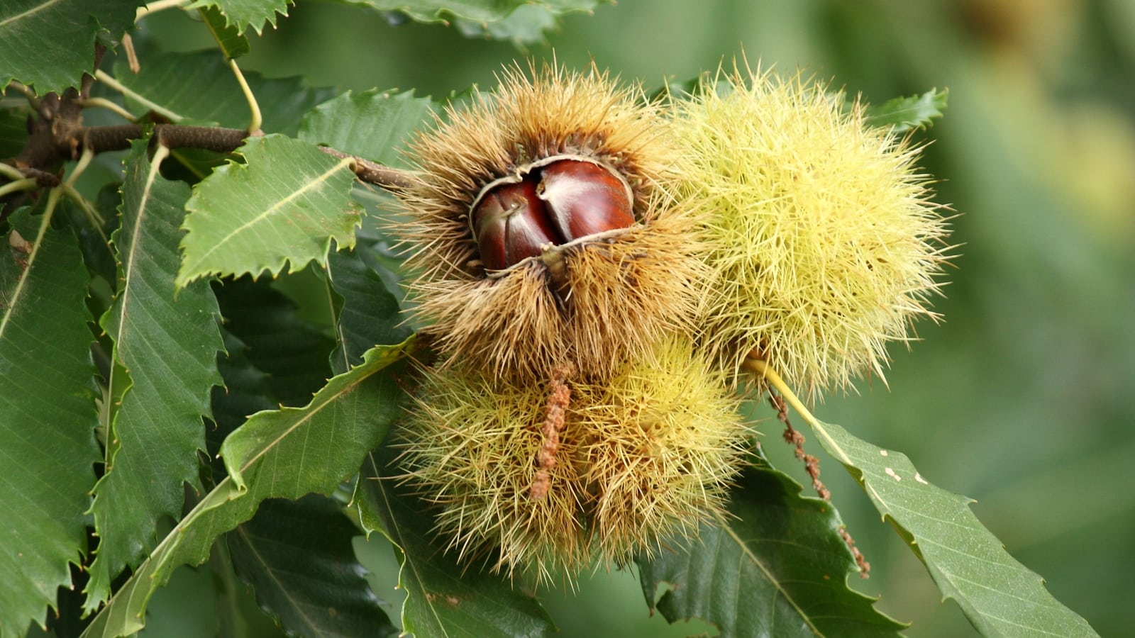 Tree of the month – Sweet Chestnut
