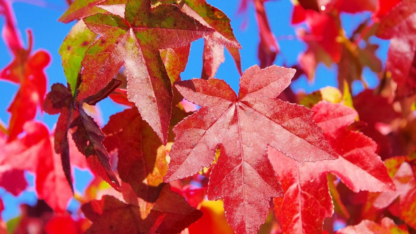 Tree of the month – Liquidambar (sweet gum)