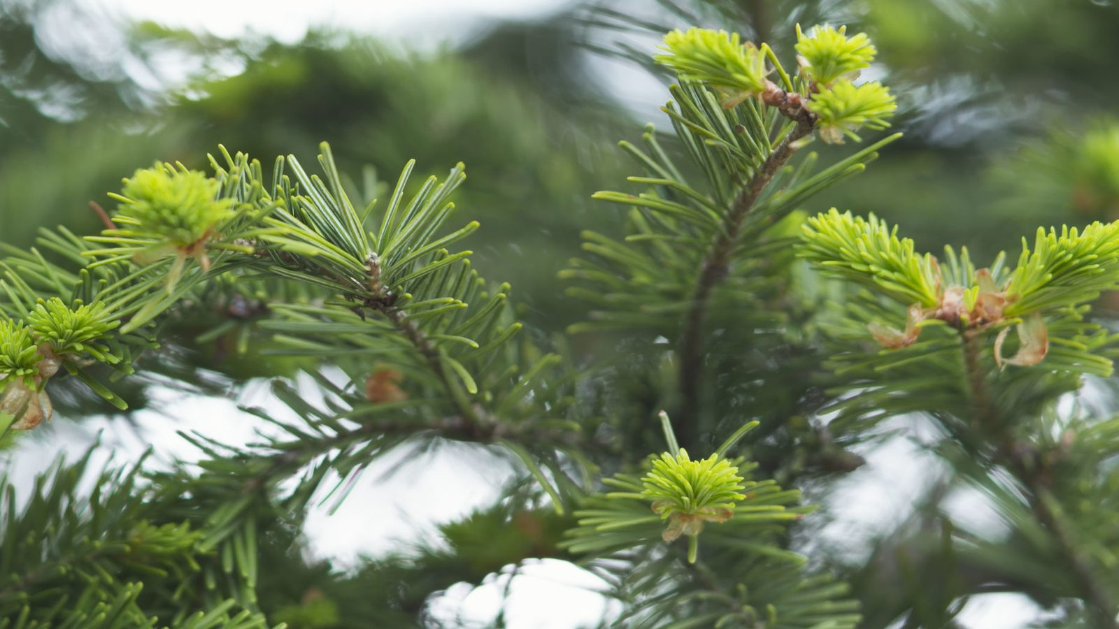 Tree of the month: Spruce
