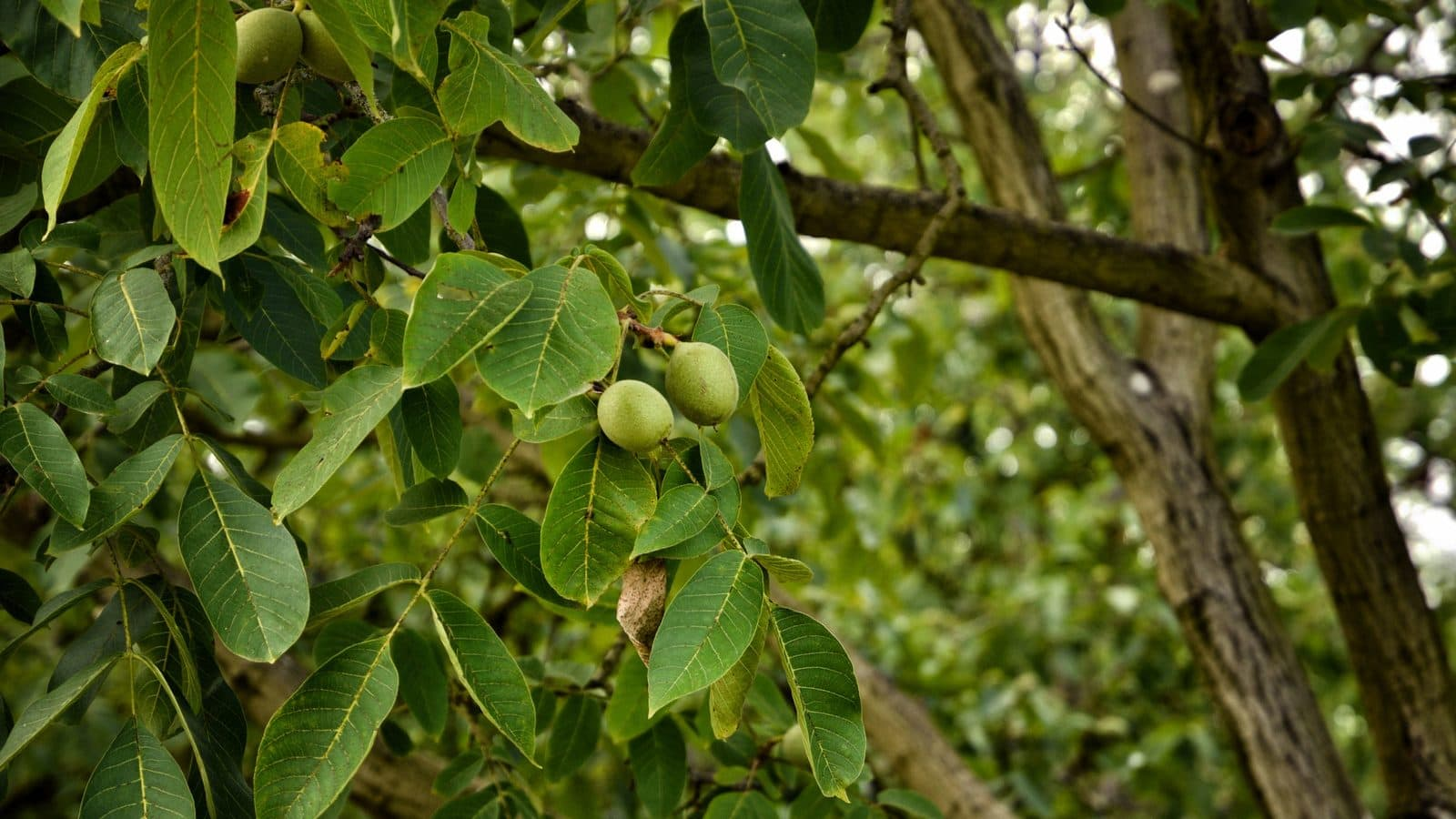 Tree of the month: English walnut