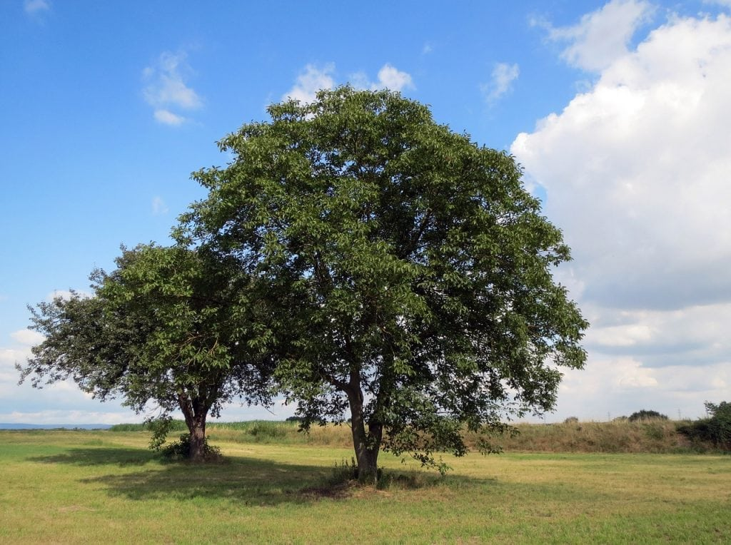 English walnut trees