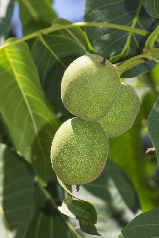 English walnut green fruits
