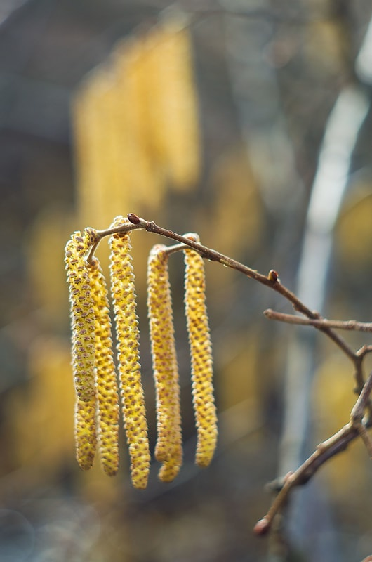 Droopy catkins of the English walnut