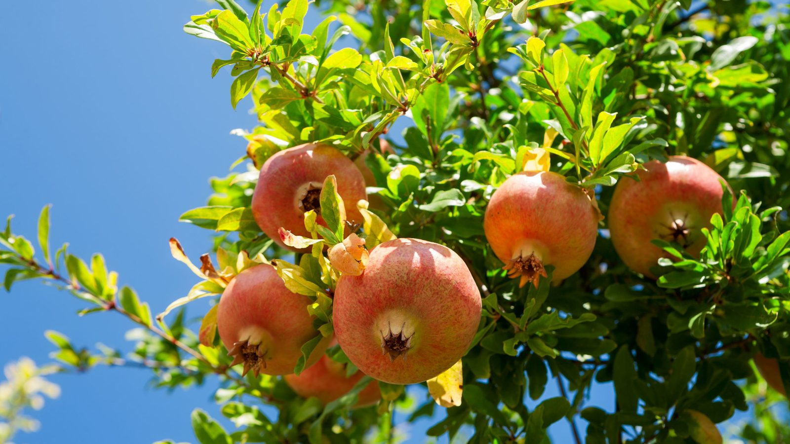 Tree of the month: Pomegranate