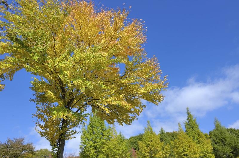 Toffe Tree ( Katsura Tree)