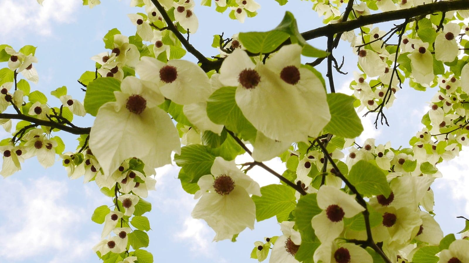 Tree of the month: the Handkerchief Tree