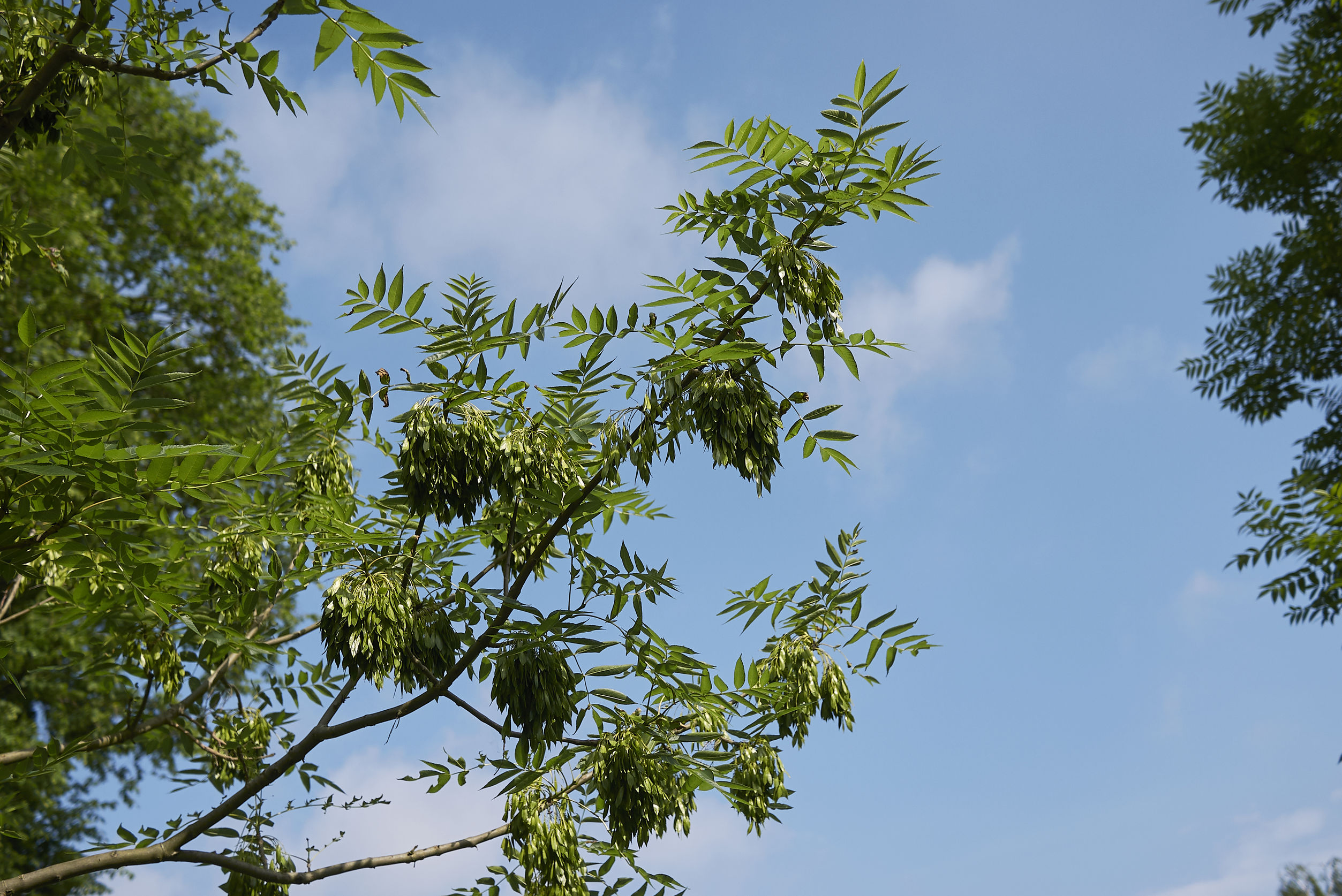 Tree of the Month: Common Ash